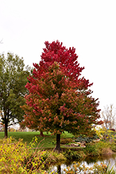 Red Sunset Red Maple (Acer rubrum 'Red Sunset') at Colonial Gardens