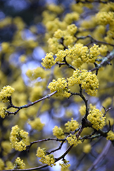 Cornelian Cherry Dogwood (Cornus mas) at Colonial Gardens
