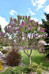 Sensation Lilac (Syringa vulgaris 'Sensation') at Colonial Gardens