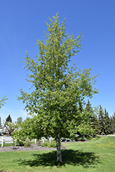 Trembling Aspen (Populus tremuloides) at Colonial Gardens