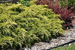 Gold Lace Juniper (Juniperus x media 'Gold Lace') at Colonial Gardens