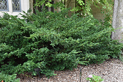 Ward's Yew (Taxus x media 'Wardii') at Colonial Gardens
