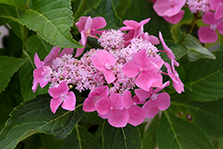 Let's Dance® Starlight Hydrangea (Hydrangea macrophylla 'Lynn') at Colonial Gardens