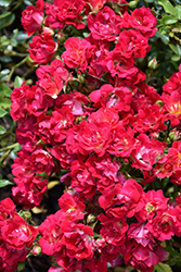 Red Drift® Rose (Rosa 'Meigalpio') at Colonial Gardens