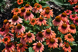 Sombrero® Hot Coral Coneflower (Echinacea 'Balsomcor') at Colonial Gardens