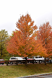 Karpick Red Maple (Acer rubrum 'Karpick') at Colonial Gardens