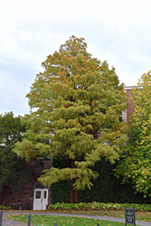Baldcypress (Taxodium distichum) at Colonial Gardens