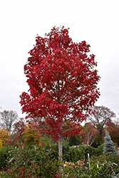 October Glory Red Maple (Acer rubrum 'October Glory') at Colonial Gardens