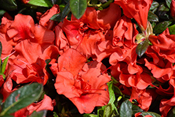 Encore® Autumn Embers™ Azalea (Rhododendron 'Conleb') at Colonial Gardens