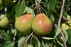 Parker Pear (Pyrus 'Parker') at Colonial Gardens