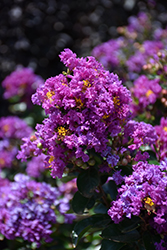 Purple Magic Crapemyrtle (Lagerstroemia 'Purple Magic') at Colonial Gardens
