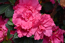 Bloom-A-Thon® Pink Double Azalea (Rhododendron 'RLH1-2P8') at Colonial Gardens
